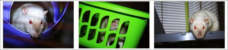 Les Hoop & Rats Cats210