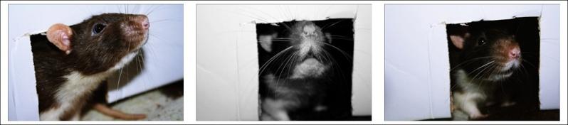 Les Hoop & Rats Cats311