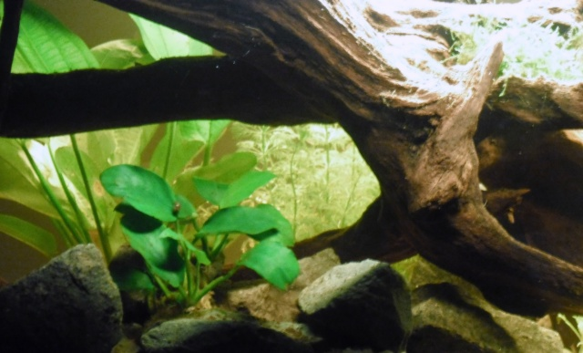Mon premier Bac : 96L Amazonien => Hyphessobrycon amandae Sam_1725