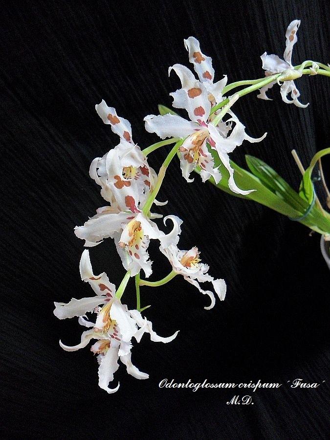 Odontoglossum crispum Odonto11