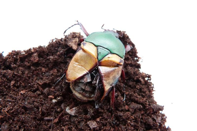 Les coleoptère de Insecte Photographie ! P1040510