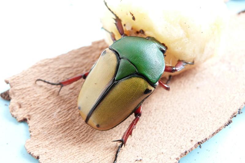 Les coleoptère de Insecte Photographie ! P1040610