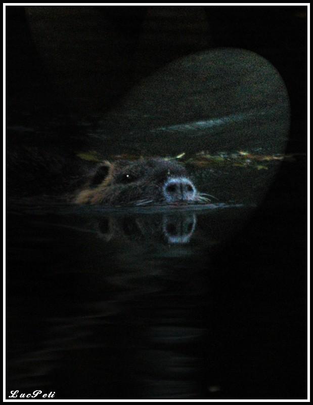 Album photos de Luc Petit - Page 2 Rat_go10