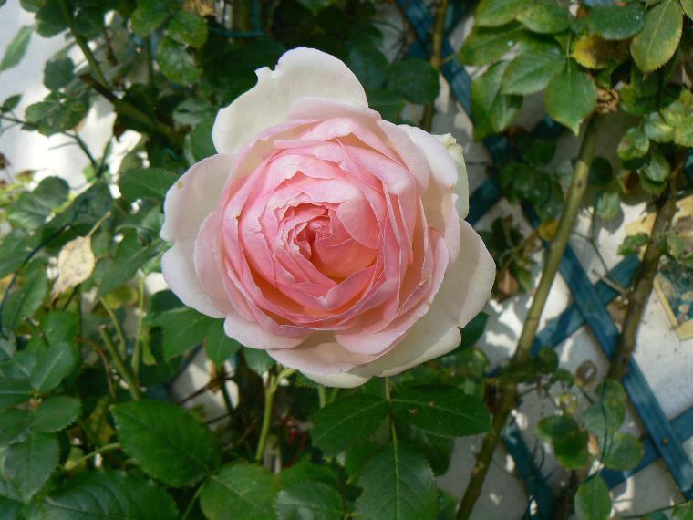 Bonne fêtes les mamans !! Roses_10