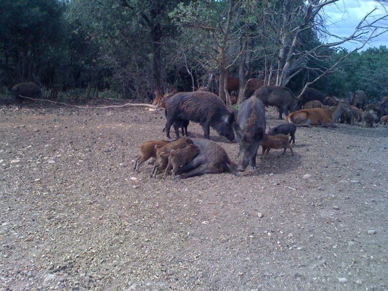 des sangliers en pleine nature Sangli11
