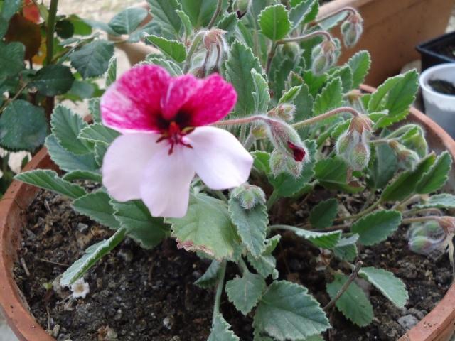 géranium pélargonium a fleur de pensée  00115