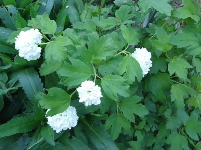 Viburnum opulus, Viorne obier, Boule de neige - Page 2 00816