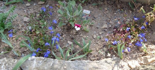 géranium pélargonium a fleur de pensée  00817