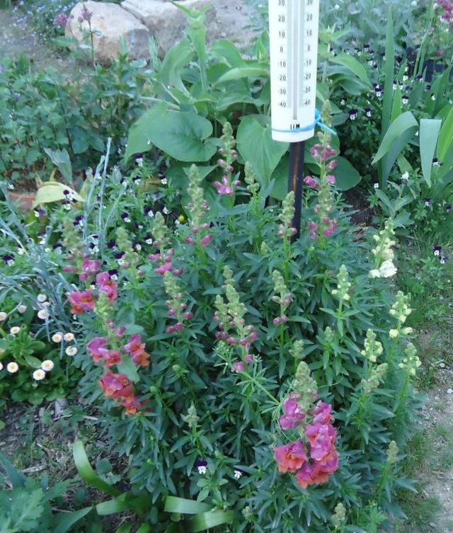Muflier, Gueule-de-loup ou Gueule-de-lion (Antirrhinum majus) des jardins 2013 01212