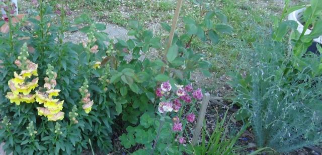 Muflier, Gueule-de-loup ou Gueule-de-lion (Antirrhinum majus) des jardins 2013 01312