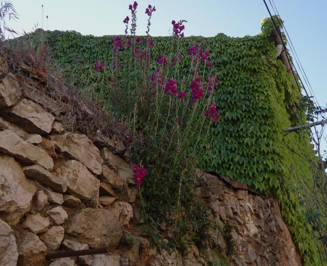 Muflier, Gueule-de-loup ou Gueule-de-lion (Antirrhinum majus) des jardins 2013 07113