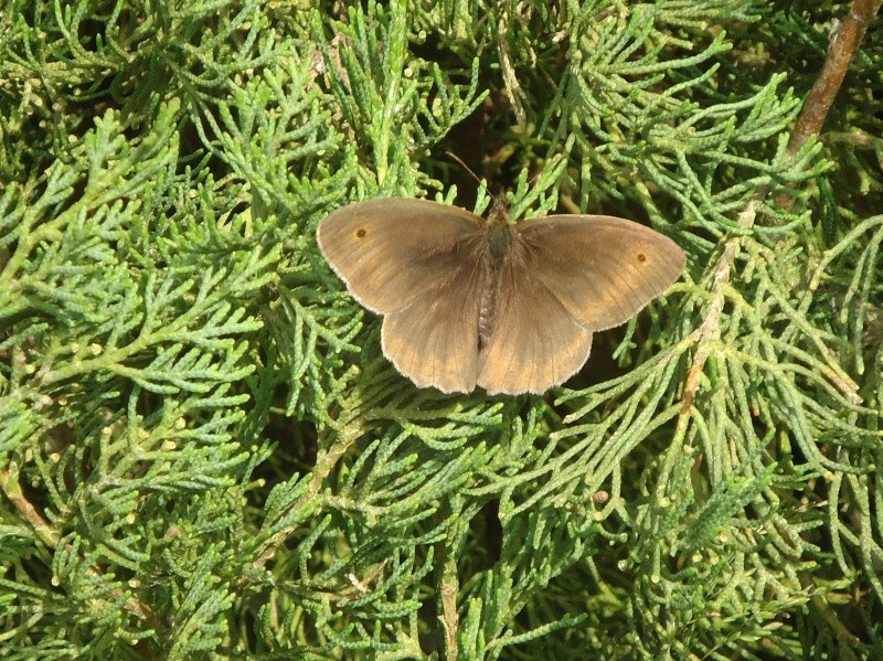 Jolis papillons 16911