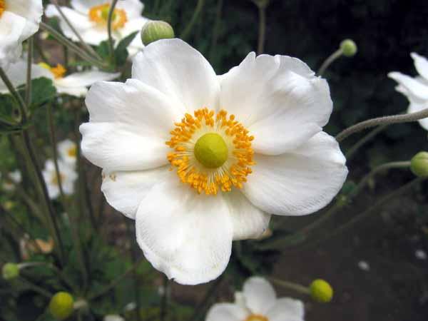 Anémone blanche? :  Anemone sylvestris 6a00d810
