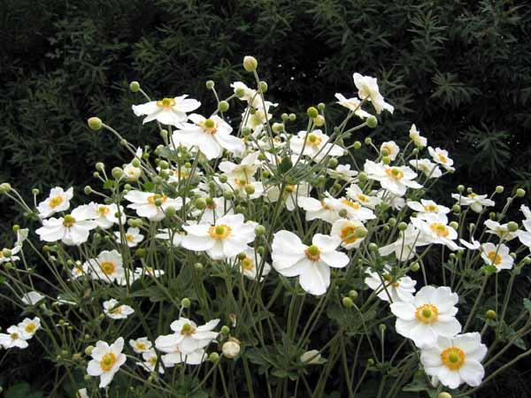 Anémone blanche? :  Anemone sylvestris 6a00d811
