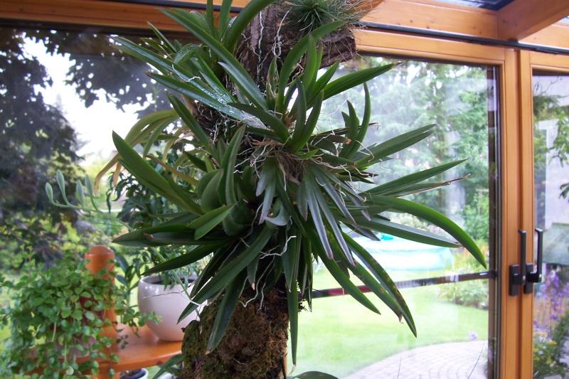Miniatur- Orchideen - Seite 5 00316