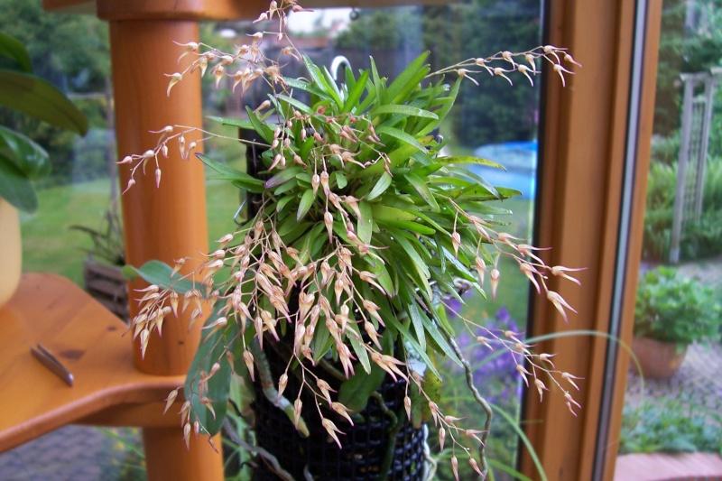 Miniatur- Orchideen - Seite 5 00416