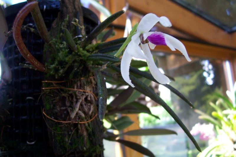 Miniatur- Orchideen - Seite 4 02610