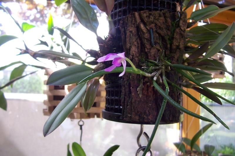 Miniatur- Orchideen - Seite 4 02711