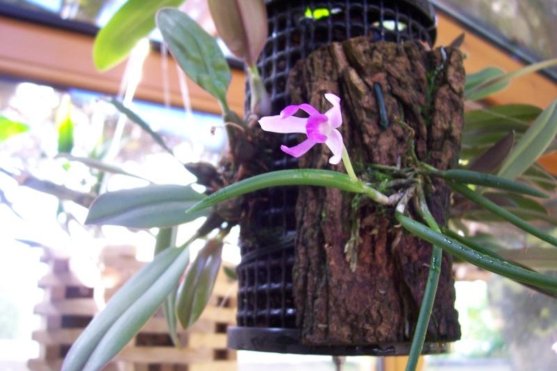 Miniatur- Orchideen - Seite 4 02910