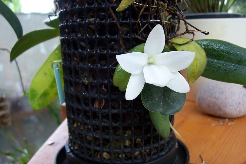 Miniatur- Orchideen - Seite 3 Aerang10
