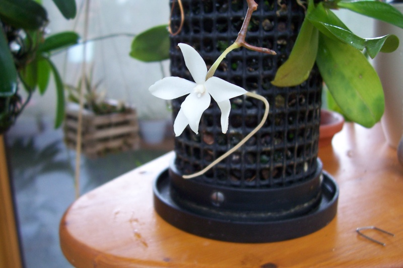 Miniatur- Orchideen - Seite 3 Aerang11