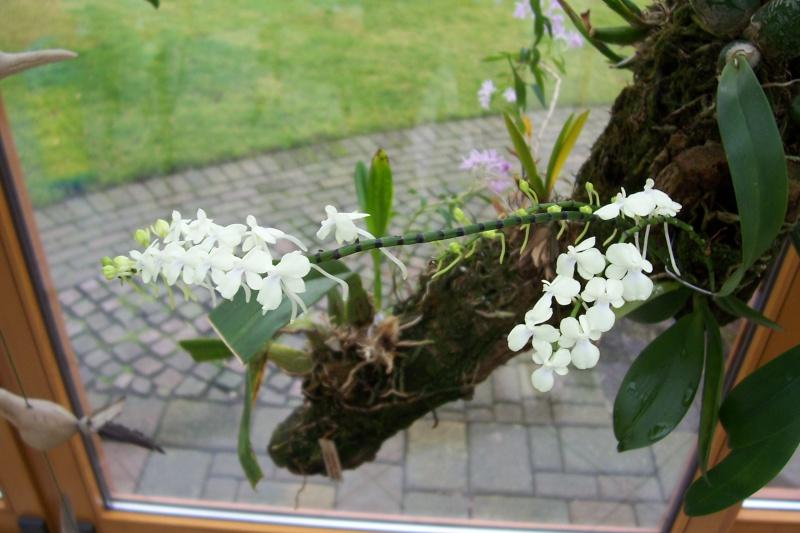 Miniatur- Orchideen - Seite 3 Aerang12