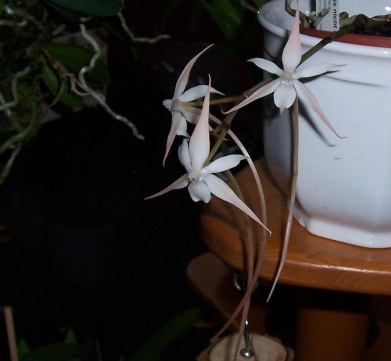 Miniatur- Orchideen - Seite 3 Aerang13