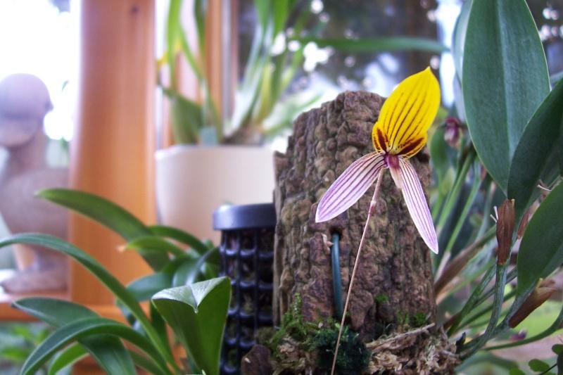 Miniatur- Orchideen - Seite 4 Bulbop11