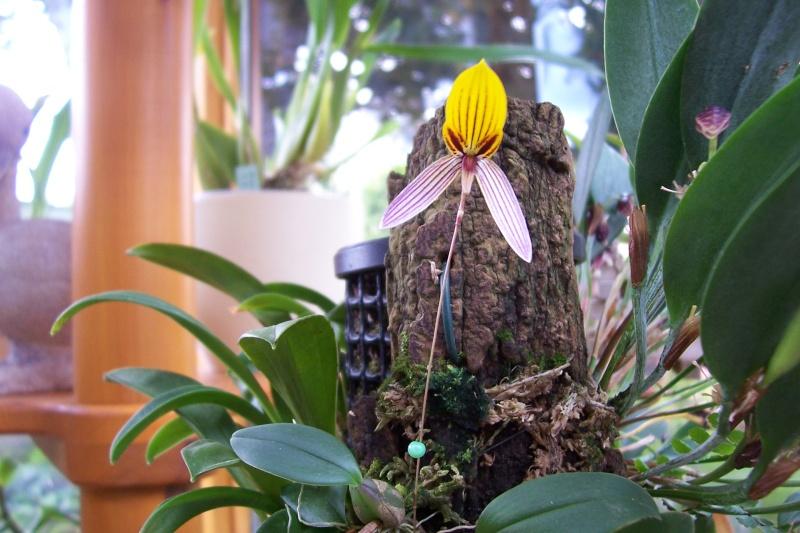 Miniatur- Orchideen - Seite 4 Bulbop12