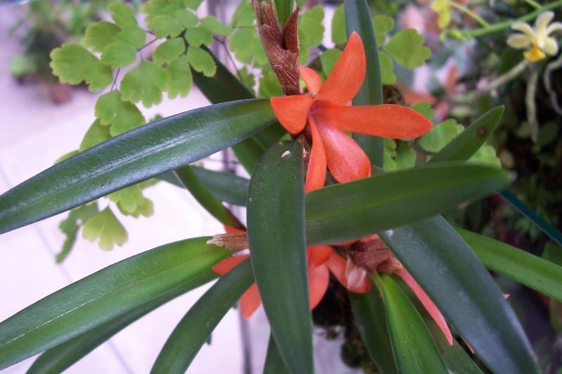 Miniatur- Orchideen - Seite 4 Cerato11