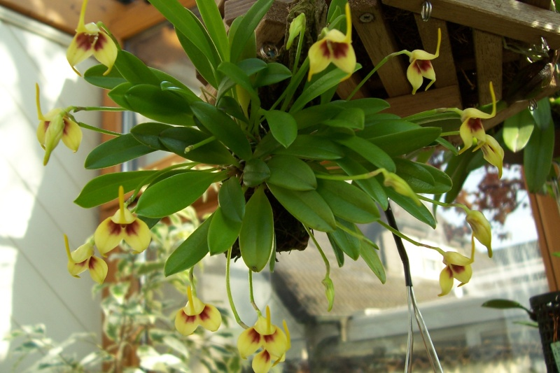 Miniatur- Orchideen - Seite 3 Masdev11