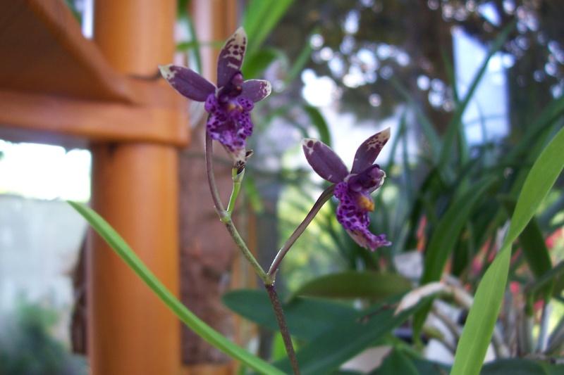 Miniatur- Orchideen - Seite 4 Oncidi10