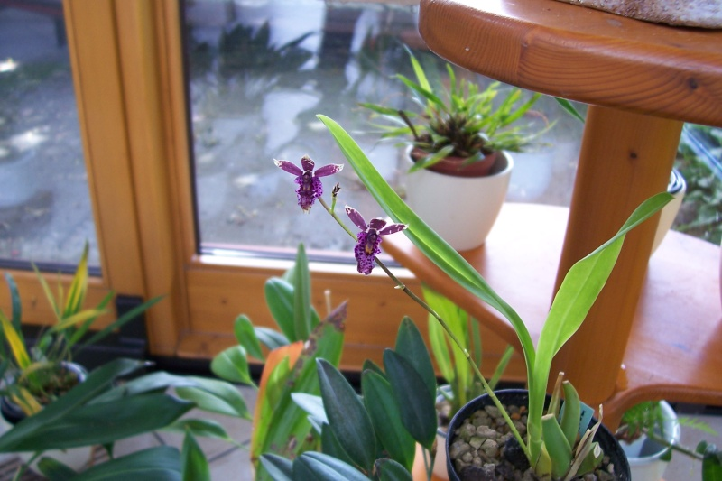Miniatur- Orchideen - Seite 4 Oncidi11