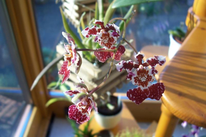 Miniatur- Orchideen - Seite 5 Oncidi12