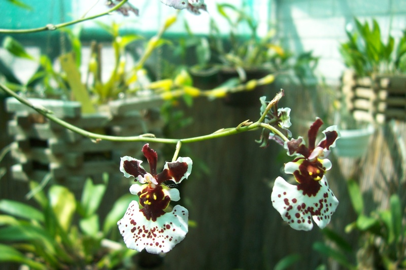 Miniatur- Orchideen - Seite 5 Oncidi13