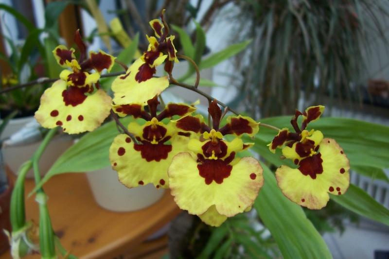 Miniatur- Orchideen - Seite 5 Oncidi15