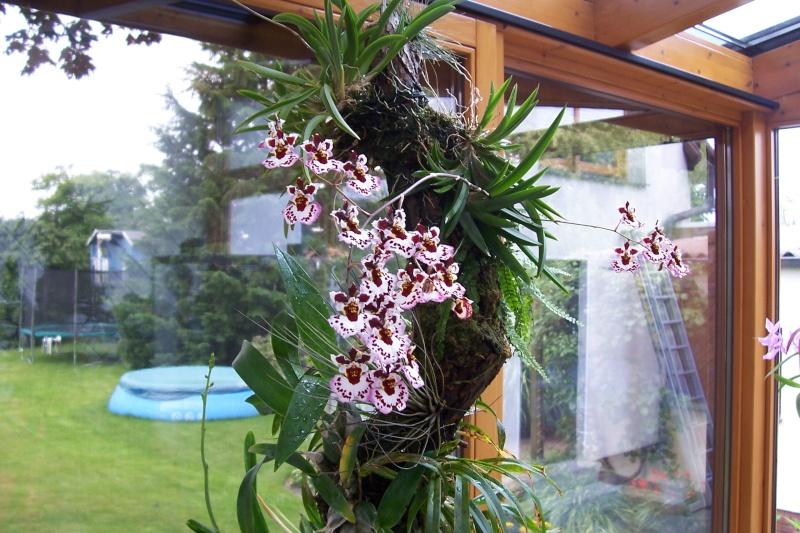 Miniatur- Orchideen - Seite 5 Oncidi16