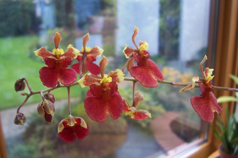 Miniatur- Orchideen - Seite 5 Oncidi17