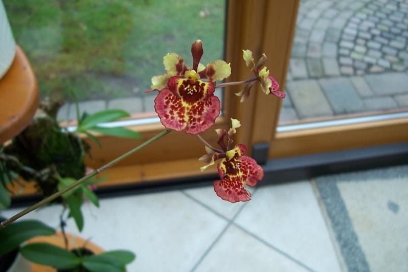 Miniatur- Orchideen - Seite 5 Oncidi18