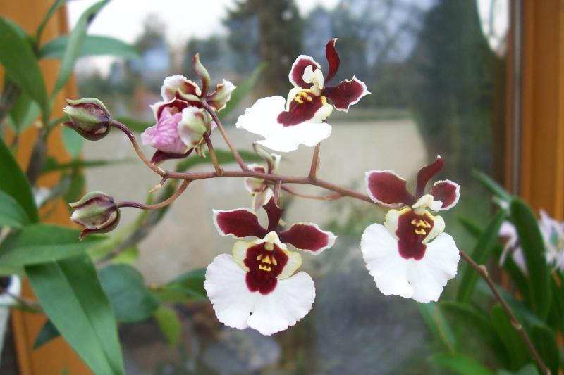 Miniatur- Orchideen - Seite 5 Oncidi19
