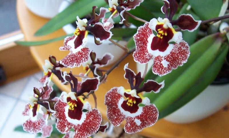 Miniatur- Orchideen - Seite 5 Oncidi20