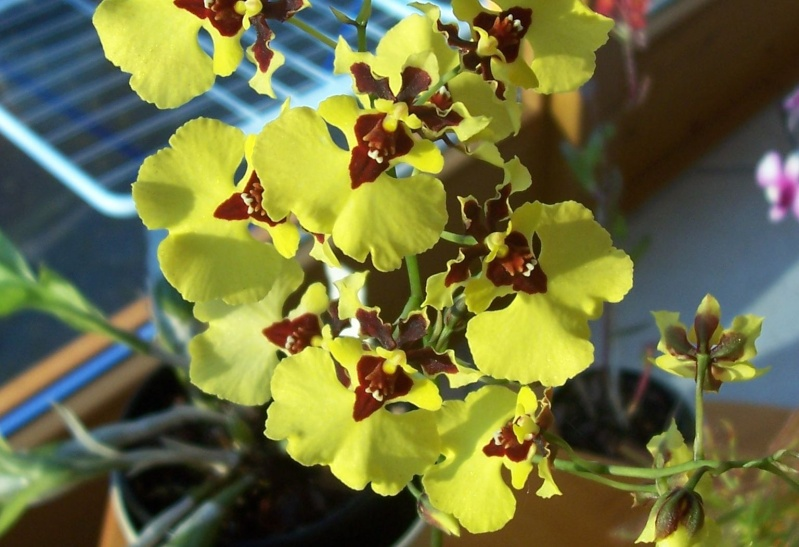Miniatur- Orchideen - Seite 5 Oncidi22