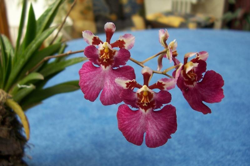 Miniatur- Orchideen - Seite 5 Oncidi23