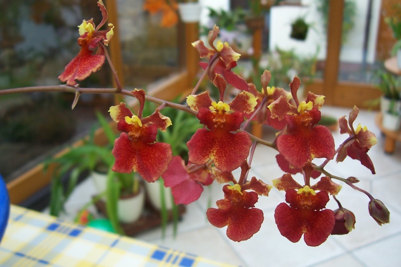 Miniatur- Orchideen - Seite 5 Oncidi24