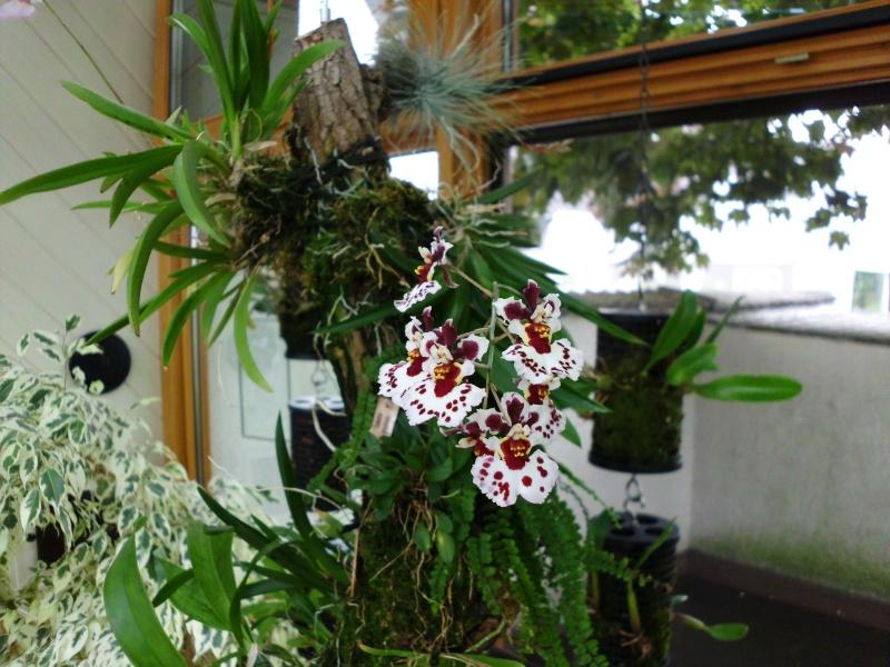 Miniatur- Orchideen - Seite 5 Oncidi25