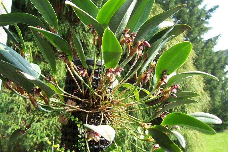 Miniatur- Orchideen - Seite 3 Pleuro11