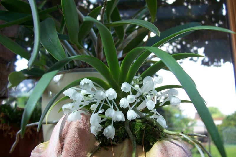 Miniatur- Orchideen - Seite 4 Podang11