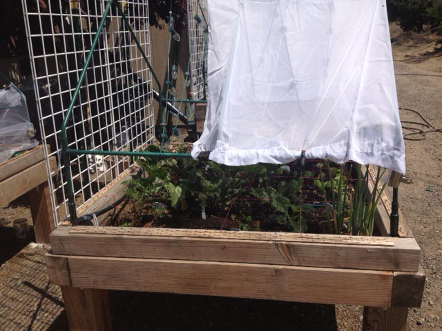 Question for Experienced Lettuce Gardeners Shade-10