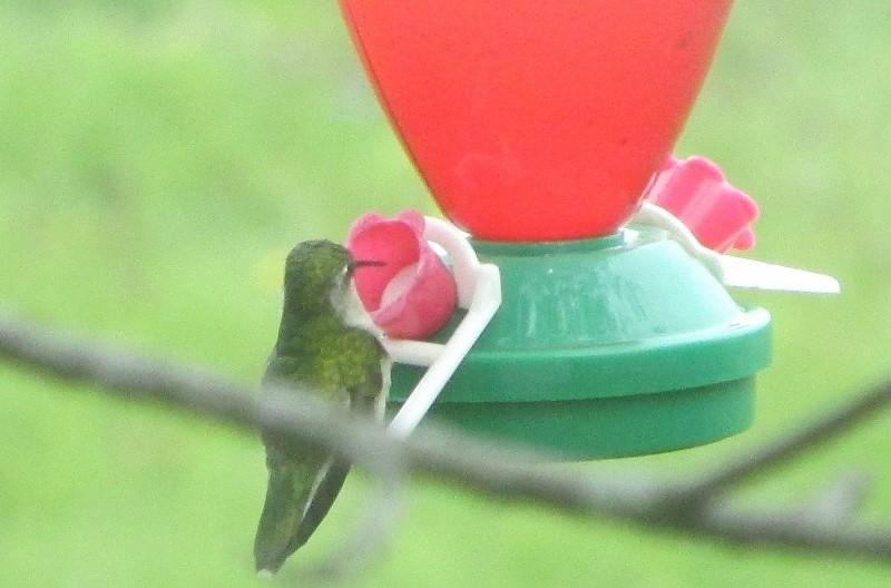 Re-bienvenue, colibri! Img_1312