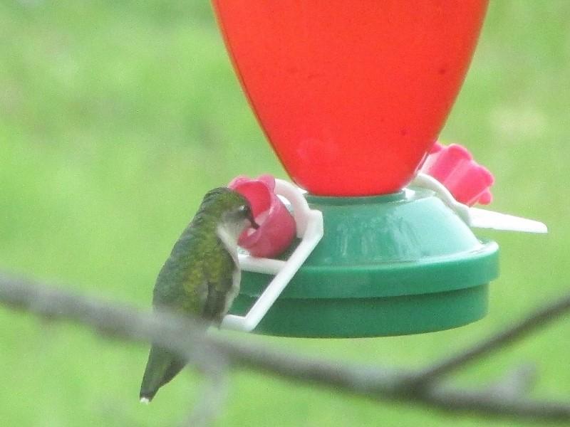 Re-bienvenue, colibri! Img_1313